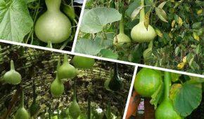 Миниатюра к статье Выращивание лагенарии из семян, уход в открытом грунте