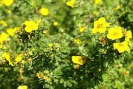 Лапчатка кустарниковая (белая, желтая) - выращивание и уход