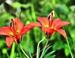 Виды садовых лилий – классификация, фото цветов