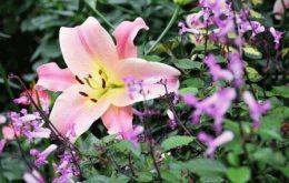 лилия в саду фото