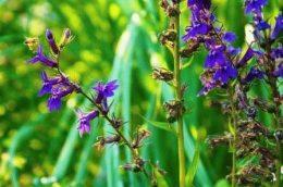 lobelia gerardii многолетняя Лобелия Герарди фото