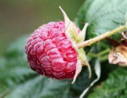 Выращивание малины: советы профессионала