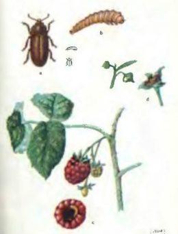 Борьба с вредителями и болезнями малины