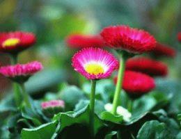 Маргаритки в вашем саду – примеры ландшафтного дизайна
