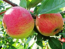 Яблоня Медуница - описание сорта, фото