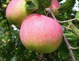 Яблоня Мельба – описание старого сорта, фото яблок