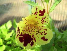 Губастик мимулюс виды, выращивание, уход за цветком