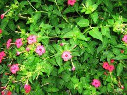 Мирабилис (ночная красавица) – виды, выращивание из семян
