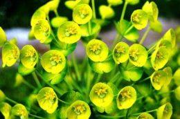 Молочай миндальный (садовый) – виды, фото, выращивание