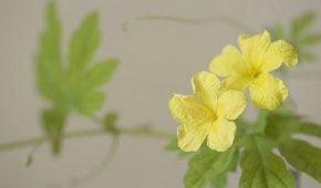Миниатюра к статье Момордика — что за растение. Выращивание из семян, сорта
