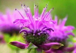 Монарда – посадка и уход. Цветы в дизайне сада