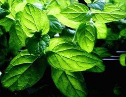Как посадить мяту перечную в саду, условия выращивания