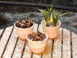 Как выгнать нарциссы зимой для цветения