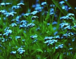 Выращивание незабудки садовой – посадка и уход