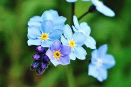 Незабудка (садовая, лесная, альпийская) – описание и фото цветов