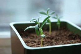 Размножение облепихи семенами фото
