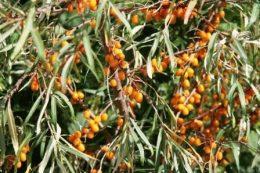 Облепиха – описание, виды, основные правила агротехники