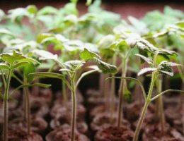 Обработка семян перед посадкой на рассаду: замачивание, закалка