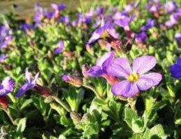 Выращивание обриеты – посадка и уход фото