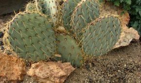 Миниатюра к статье Опунция: кактус для выращивания в открытом грунте умеренных широт