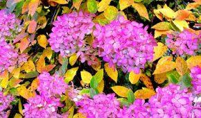 Миниатюра к статье Обрезка гортензии осенью (метельчатой, древовидной, кустовидной)