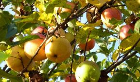 Миниатюра к статье Осенняя подкормка плодовых деревьев и кустарников