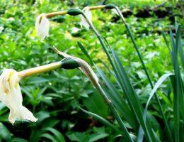 Что делать с отцветшими цветами (тюльпанами, нарциссами и др)