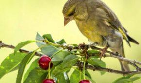 Миниатюра к статье Народные способы чтобы отпугнуть птиц от черешни и вишни