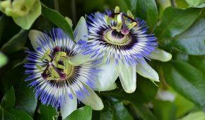 Миниатюра к статье Пассифлора — виды, выращивание из семян или черенков в саду