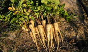 Миниатюра к статье Пастернак – сорта овоща, выращивание из семян