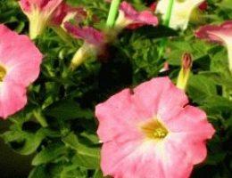 Как вырастить рассаду петунии из семян - мастер класс