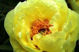 Пионы желтого цвета – сорта, история селекции