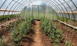 В теплице помидоры фото