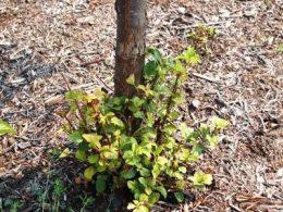 Как избавиться от корневой поросли вишни на садовом участке