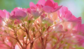 Миниатюра к статье Посадка гортензии (метельчатой, древовидной) весной в открытый грунт