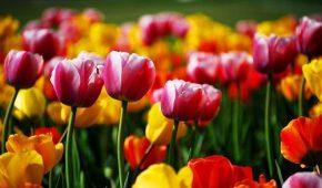 Миниатюра к статье Как правильно сажать тюльпаны осенью в открытый грунт