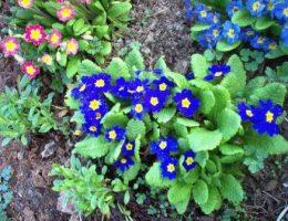 Примула – выращивание из семян, посадка и уход в саду