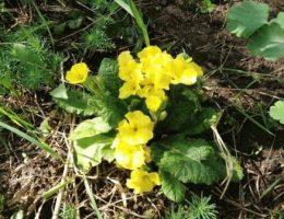 Примула обыкновенная – сорта для сада и уход