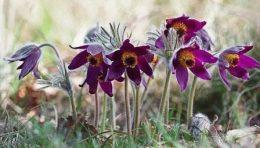 Прострел (цветы Сон-трава) – фото, виды, посадка семян