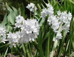 Пушкиния – виды, посадка и уход за цветами
