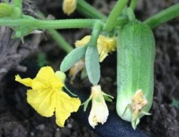 Выращиваем ранних огурцов – описание способа, сорта