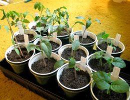 Когда лучше сажать помидоры на рассаду