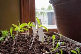 Болезни рассады томатов, признаки дефицита минералов (азот, фосфор и др.)
