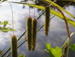 Растения для водоемов фото