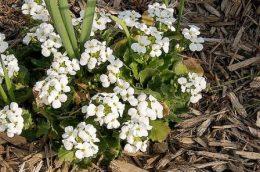 Резуха кавказская, выращивание цветов в саду
