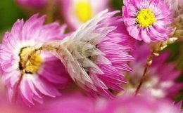 Роданте (гелиптерум) Менглса – розовый сухоцвет, выращивание, фото