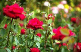 Розы в ландшафтном дизайне сада фото