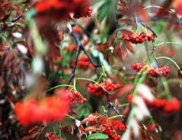 Рябина красная – плодовые и декоративные сорта, посадка и уход