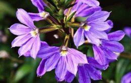Сцевола приятная – фото, выращивание в саду