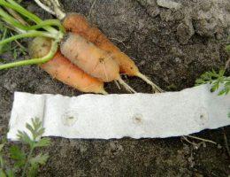 Семена моркови на туалетной бумаге как сделать самостоятельно